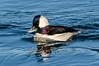 A short stop in Moss Landing revealed Bufflehead Ducks.