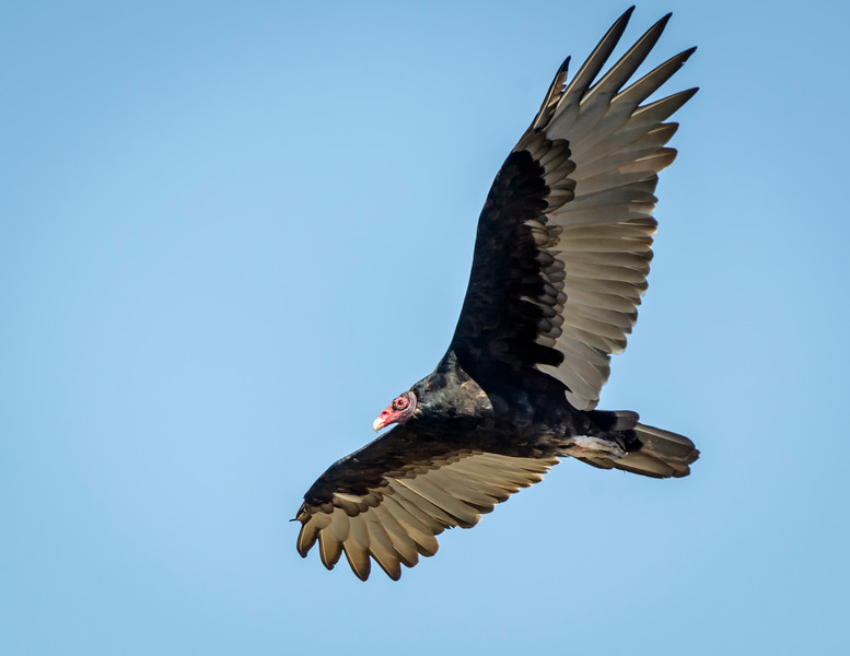 Turkey Vulture Cruises the Shoreline