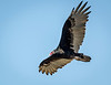 Turkey Vulture Cruises the Shoreline