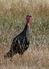 Turkey in the grass
