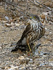Sharp-shinned Hawk Enjoys a Hard Won Prize