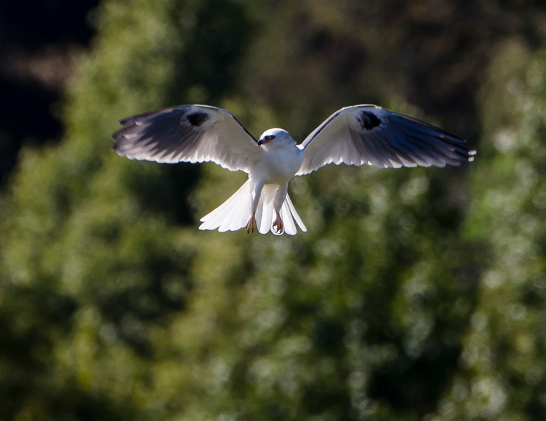 White-tailed Kite on the hunt