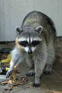 2005-06-20 Raccoon on Deck 006