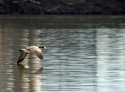 Canada Goose (55840372)