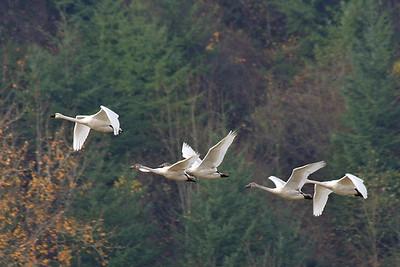 Geese in Flight (70461553)