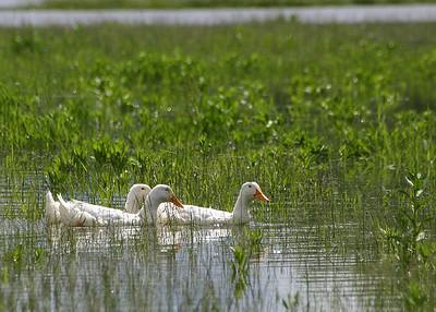 Ducks at Scappoose Bay Marina (36165814)