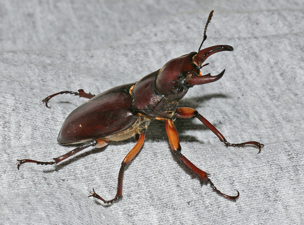 male stag beetle