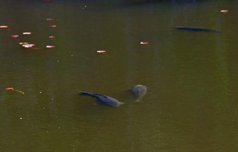 carp in Lake Whitney