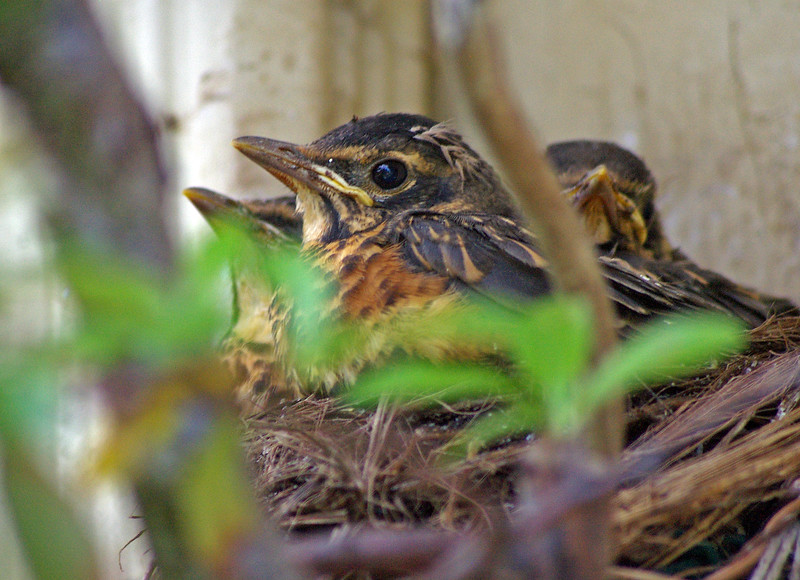 Young robins by front door.