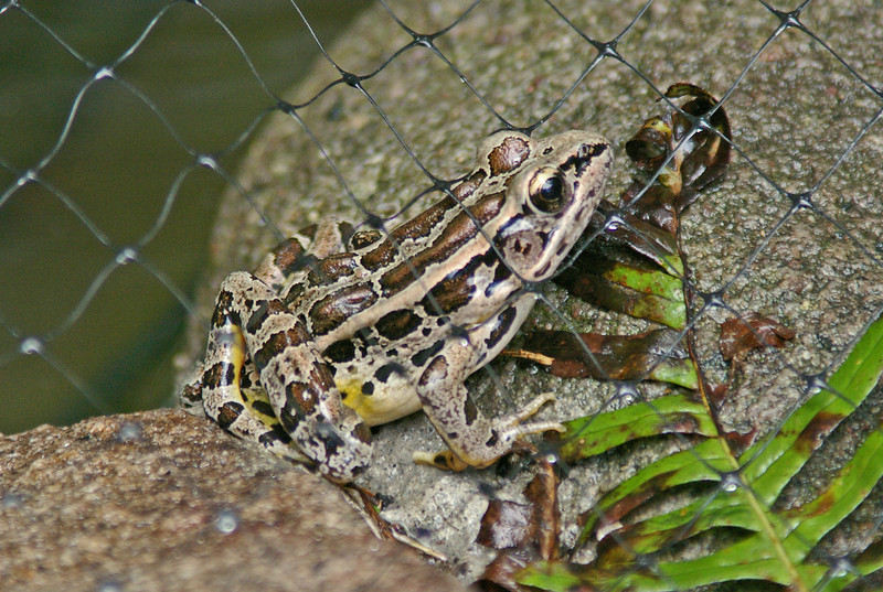 Leopard Frog in yard