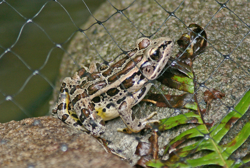 Leopard Frog in yard