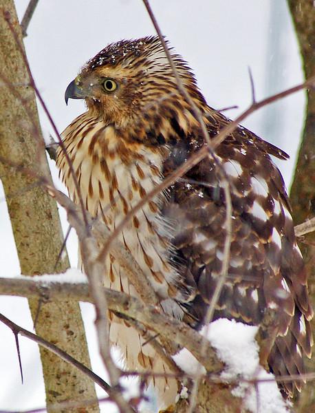 Marsh Hawk, backyard, Hamden