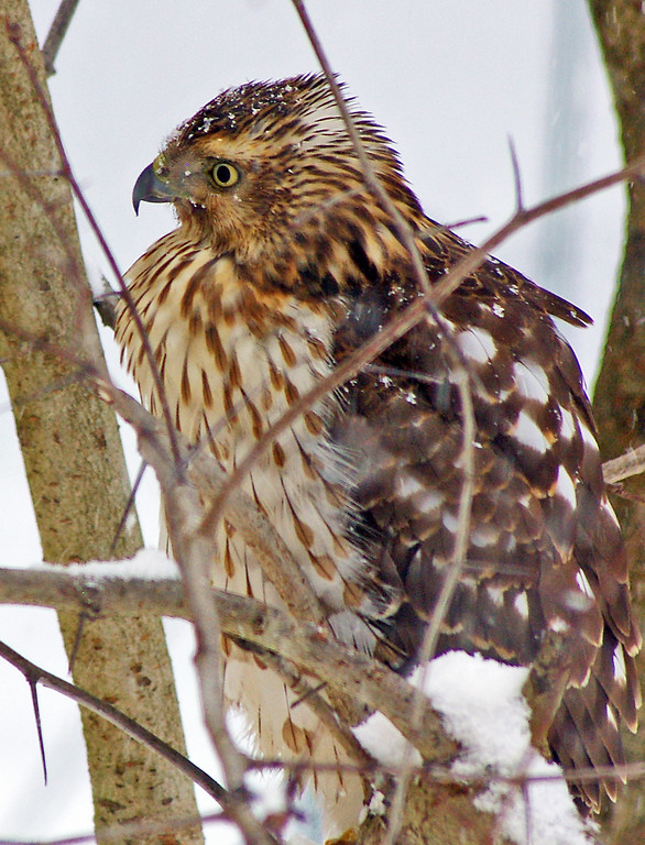 Marsh Hawk, backyard, Hamden