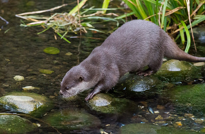Oriental Small Clawed Otter
