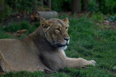 Asian Lion cub