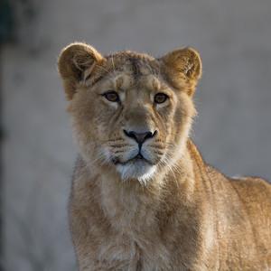 Asian lion