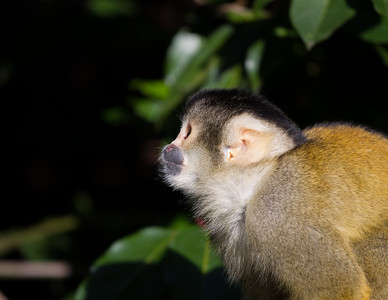 Black-capped squirrel monkey