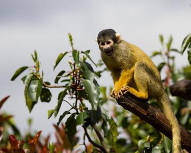 Black-capped squirrel monkey