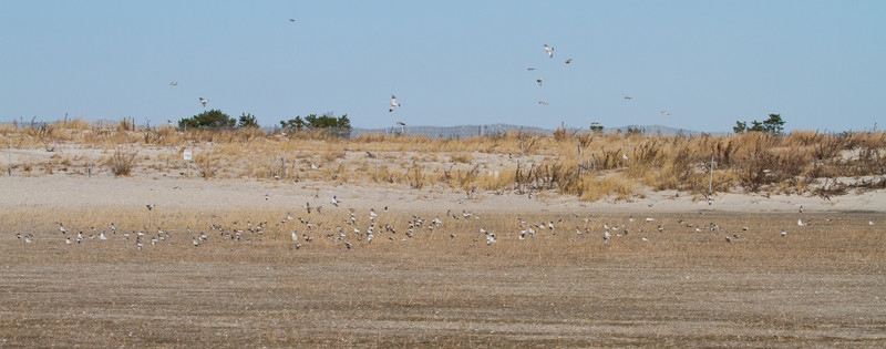 Snow Buntings; about 204 in this photo<br /> Jones Beach State Park, West End, 12/26/11