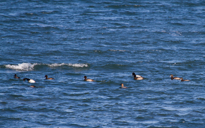 Scaup (Greater?) and Surf Scoter<br /> Cordwood Beach, St. James (Suffolk County, Long Island) 12-26-11