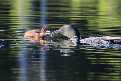"LOON 1116  ""Feeding the baby"""