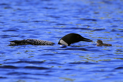 "LOON 0227  ""Feeding the baby"""
