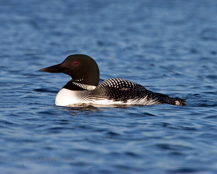 Common Loon on Davis Pond near Eddington Maine. Image-4718.