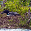 This nesting Loon image was taken from about 200 feet using a 600mm lens so as not to disturb her. Image-3437a.
