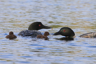 "LOON 0498  ""Feeding the chicks"""