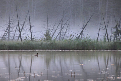 "LOON 0939  ""Young loon on a foggy morning"""