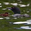 Common Loon (Gavia immer) with chick. Image-3874a.