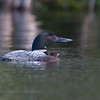 Common Loon with chick. Image-4671