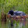 This nesting Loon image was taken from about 200 feet using a 600mm lens so as not to distrub her..Image-3454.