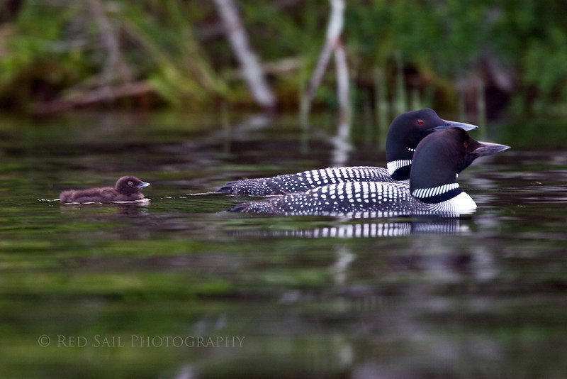Loon family on Davis Pond. Image-4691.
