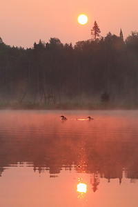 "LOON 0560  ""Loon Family and Sunrise Fog"""