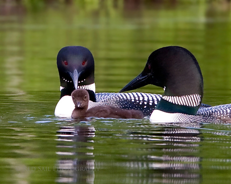 Common Loon pair staying close. Image-4931.