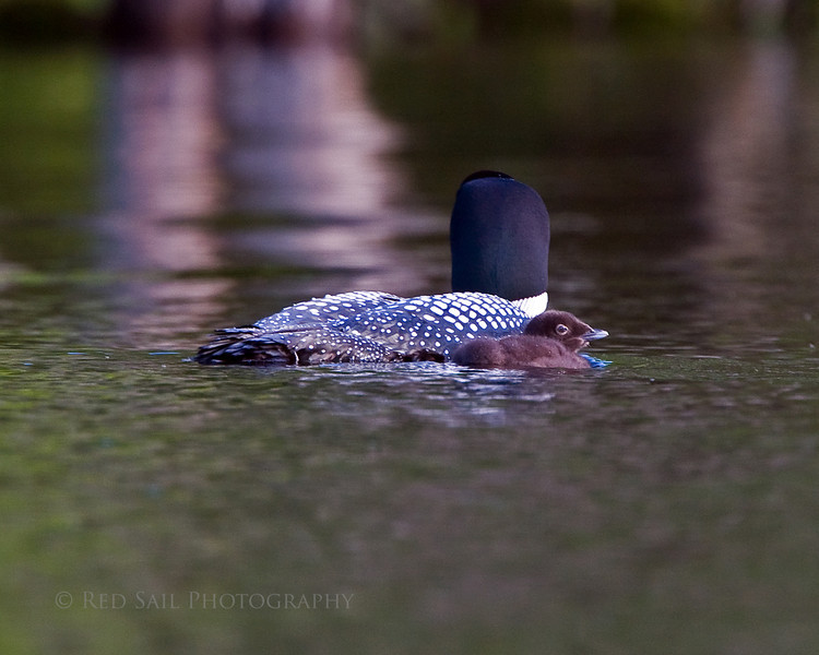 Common Loon with chick. Image-4675