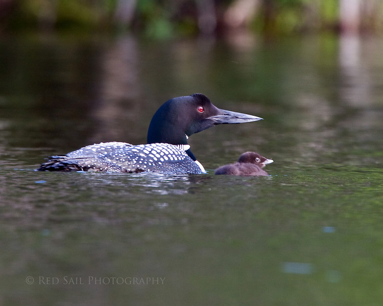 Common Loon with chick. Image-4677.