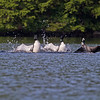 """Loon Celebration"" The loon on the right has a fish and the others congratulate the catch."