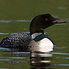 Loon on Parks Pond, Clifton Maine.