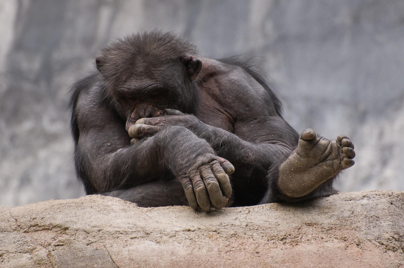 Zoo Primates #9