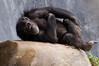 Zoo Primates #10