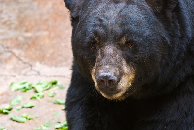 Next, I pass by the Black Bear exhibit.