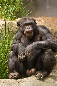 Making my way toward the exit, I always have to stop by the Chimpanzees.  They are just so facinating to watch!