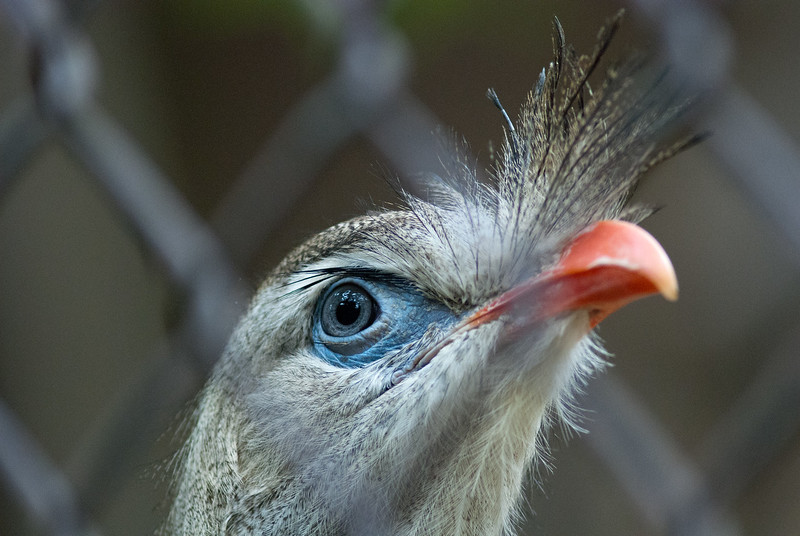 "<span id=""title"">Pretty Eyes</span> Very cool eyes and 'beak tuft' on this guy."