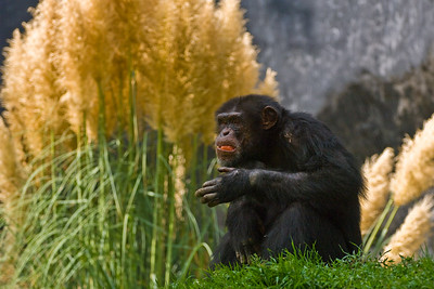 Chimpanzee having a little lunch against a nice backdrop.