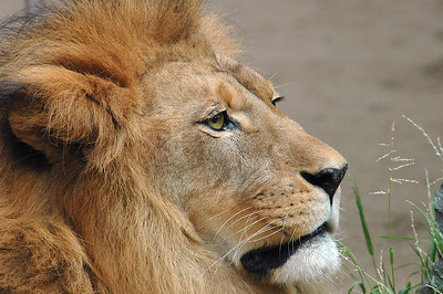 The male lion, named Lionel, has a gorgeous coat and mane.