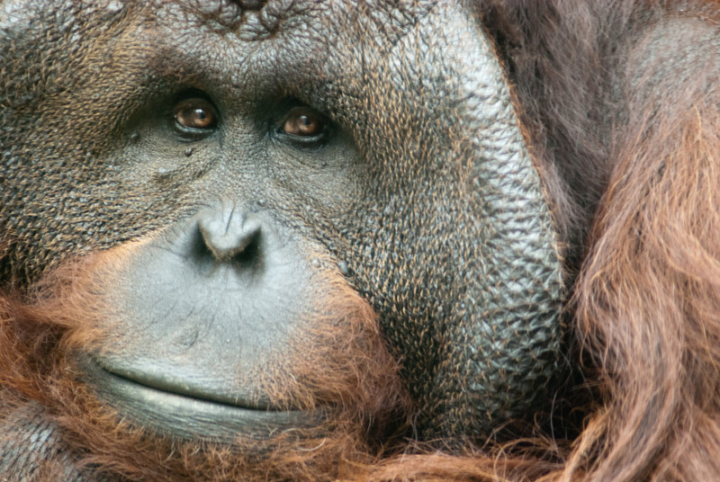 "<span id=""title"">Orangutan</span> Such sad eyes... I was really excited about this photo when I took it, but it's pretty fuzzy because I took it through dirty glass at and angle. Photography aside, it was pretty cool to see the orangutans up close and active. After I took this shot, he started climbing straight up the fence and settled on a fireman's hose that they have hanging there. Not my idea of a comfy seat, but I suppose different primates have different butt types."
