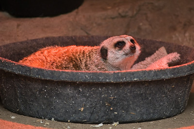 The other Meerkat was a little chilly, so he (she?) was curlled up in the warming tub.
