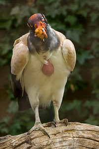 The King Vulture is found in Central and South America.
